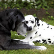 Stock Photo: Dalmatians and Germmastiff
