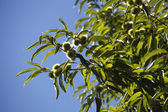 Tree with chestnuts — Stock Photo