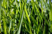 Primer plano de la caña verde — Foto de Stock