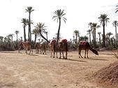 Dromedaries in the West Sahara — Stock Photo
