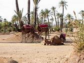 Dromedaries in the West Sahara — Zdjęcie stockowe