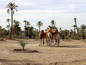 Dromedaries in the West Sahara — Стоковое фото