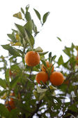 Orange trees in Morocco — Stock Photo