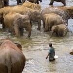 Elephant bathing at the orphanage — Stock Photo #44222063