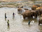 Elephant bathing at the orphanage — Stock Photo