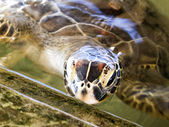 Turtle at the rearing station in Sri Lanka — Stock Photo