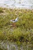 Stilt bird in a national park — Stock Photo