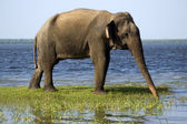 Young elephant in the national park — Stock Photo