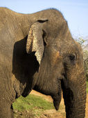 CLose-up of a young elephant in the national park — Stock Photo