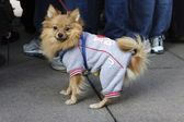Freezing small dog wearing a sweater — Stockfoto