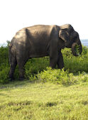 Portrait of an indian elephant eating grass — Stock Photo