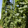 Постер, плакат: Cultivation of hops
