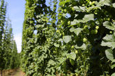 Cultivation of hops — Stock Photo