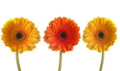 Three colorful gerberas in a row — Stock Photo