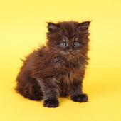 Black Maine Coon kitten on a yellow background — Stock Photo