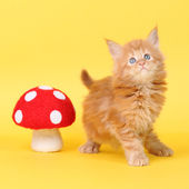 Maine Coon kitten on a yellow background — Stock Photo