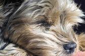 Yorkshire Terrier sleeping — Stock Photo