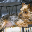 Stockfoto: Nice yorkshire lying on pillow