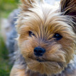 The face Yorkie dog — Stock Photo