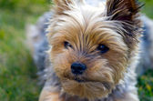 The face Yorkie dog — Foto Stock