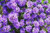Backround of purple rhododendron — Stock Photo