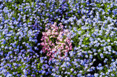 Background with blue and pink flowers — Stock Photo