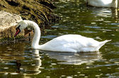Swan on the bank — Stock Photo