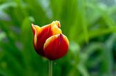 多彩的郁金香上 — 图库照片