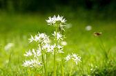 Wild garlic in flower — Stock Photo