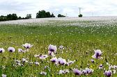 Blooming Poppy field — Stock Photo