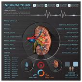 Kidney Medical Infographic Infochart  — Stock Vector
