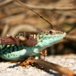 Wild Lizard in Nature, Podarcis siculus Gecko — Stock Photo