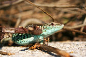 Lagarto selvagem na natureza, podarcis siculus gecko — Foto Stock