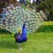 Portrait of peacock with feathers out — Stock Photo #37181255