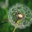 Stock Photo: Dandelion seed outdoors