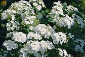 Pretty white flowers blooming in a garden — Stock Photo