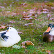 Staring ducks — Stock Photo