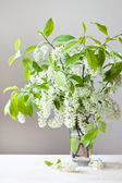 Bird cherry's flowers — Stockfoto
