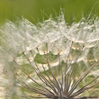 Part of white dandelion on green background — Stock Photo