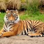 Tiger portrait horizontal — Stock Photo