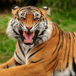 Stock Photo: Roaring tiger