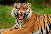 Roaring tiger — Stock Photo