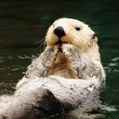 Stock Photo: Arctic white otter