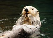 Arctic white otter — Stock Photo