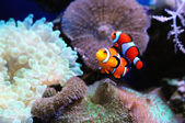 Pair of clown fish — Stock Photo