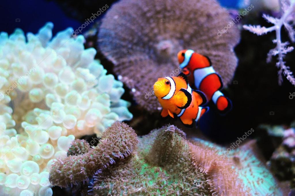 Paire de poisson clown photo 37299829 for Poisson clown prix