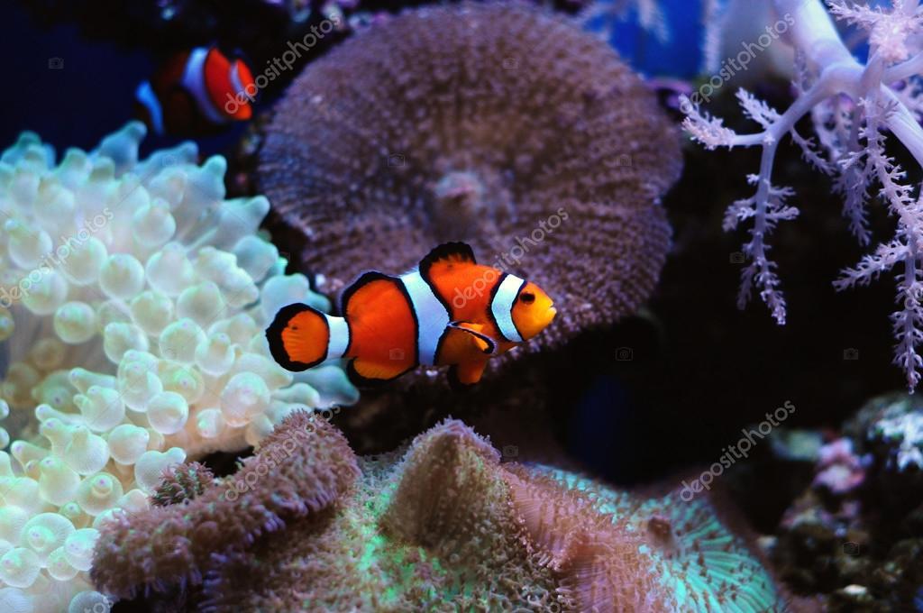 Pesce pagliaccio e l 39 anemone foto stock neelsky 37299881 for Immagini pesce pagliaccio