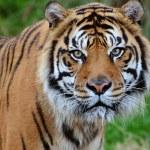Tiger close-up — Stock Photo #37300383