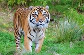 苏门答腊虎 — 图库照片