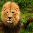Majestic lion portrait — Stock Photo